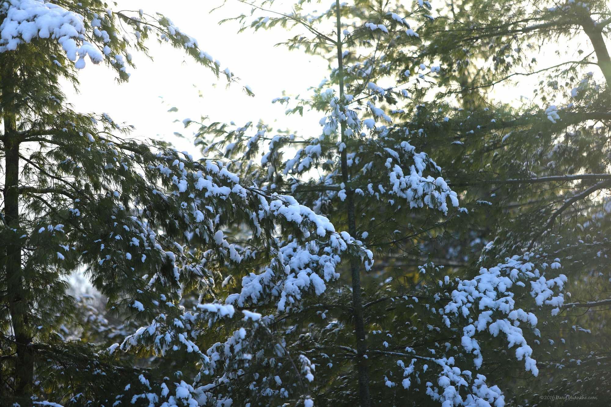 ww-snow-trees