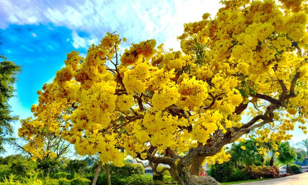 The Tabebuia Tree